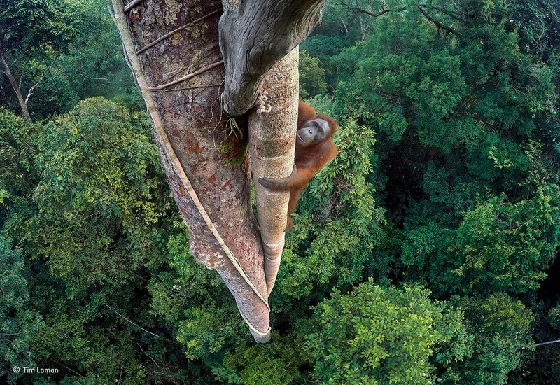 orango albero Wildlife Photographer of the Year